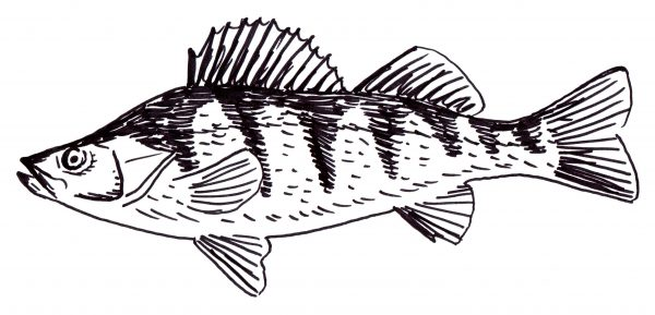 Lake Erie Yellow Perch colouring page